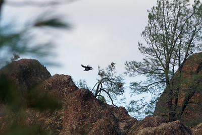 Condor Soaring Through Grey Pines, Pinnacles National Park
