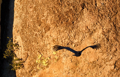 Heading Home, California Condor