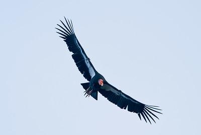 California Condor #63, Pinnacles National Park