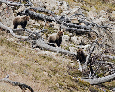 Momma Grizzly with her two cubs behind her.  She's facing off with a momma black bear and her two cubs which are out of frame to the right down the mountain side.