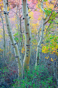 Aspen Trunks, Lundy Canyon