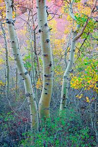 Aspen Trunks, Lundy Canyon