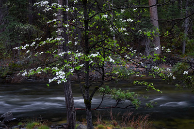 Dowood Trees Along Merced River, Yosemite Valley