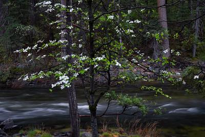 Dowood Trees Along Merced River, Yosemite Valley