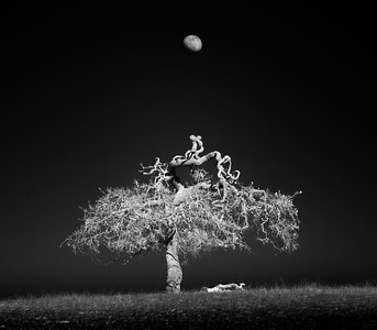 Moonrise Over Blue Oak, San Benito County, California