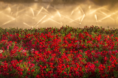 Red Sweet Peas and Sprinklers, San Benito County, California