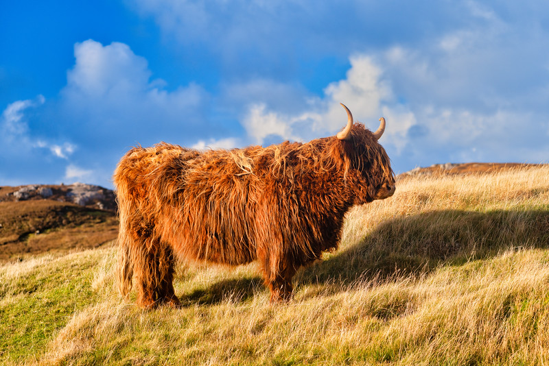 Scottish Cow in Pasture on Isle of Lewis