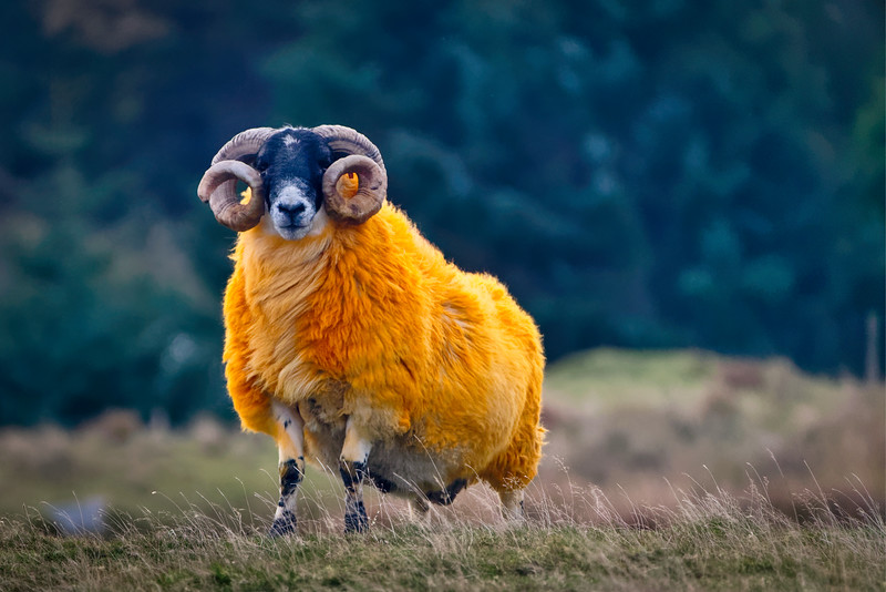 Orange-Colored Ram, Isle of Harris