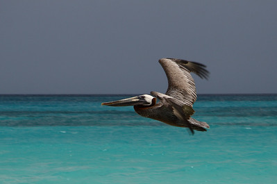 "IMG#1076 Brown Pelican searches for ""lunch"" along the Casa del Mar beach...Aruba-2010"