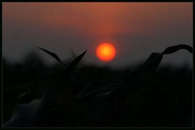 Sunset through a Deerfield, NJ cornfield...