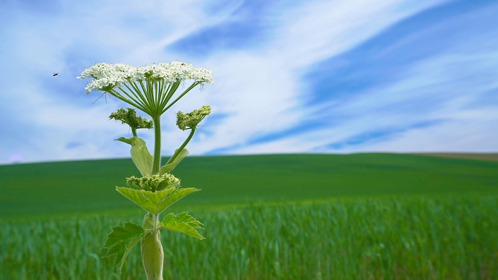 Cow's Parsnip and Wheat Field