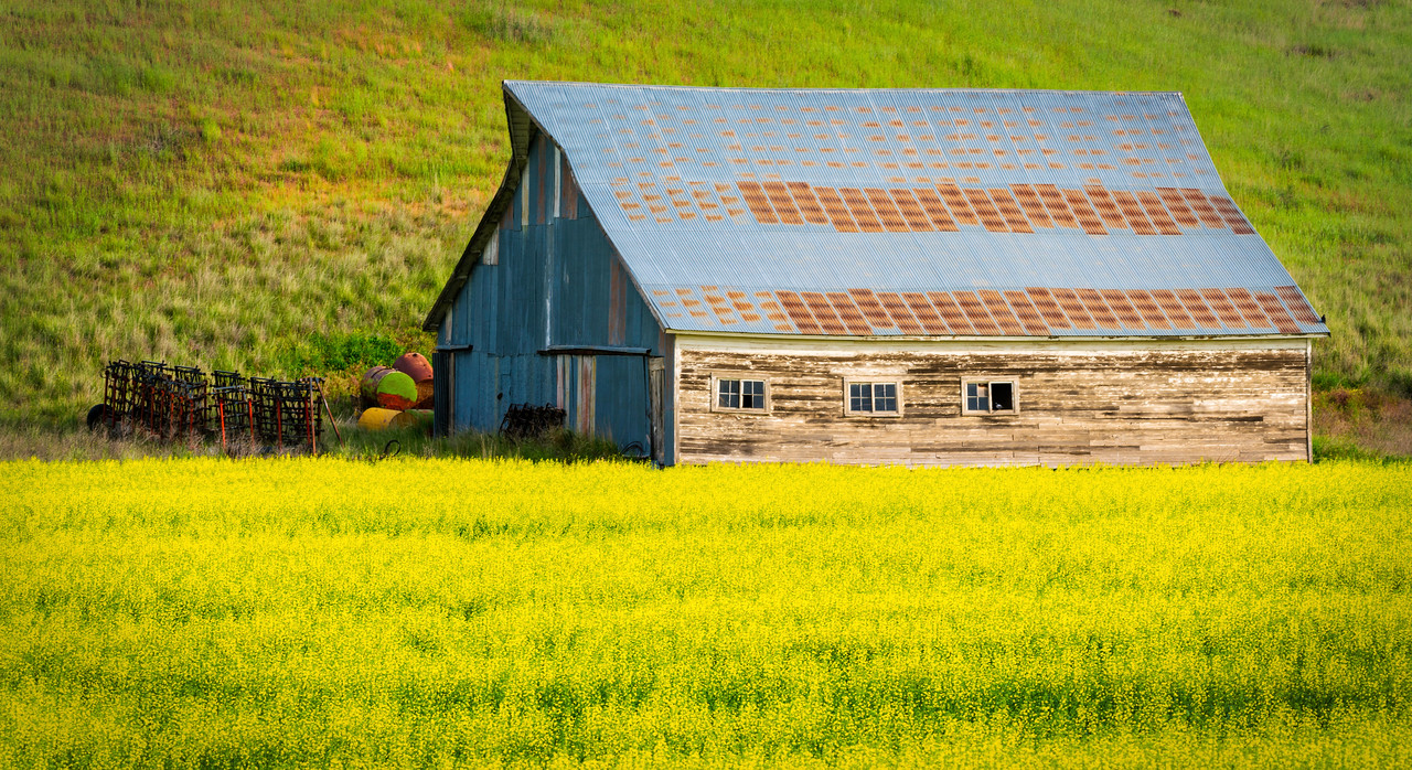 Old Barn and Canola Field