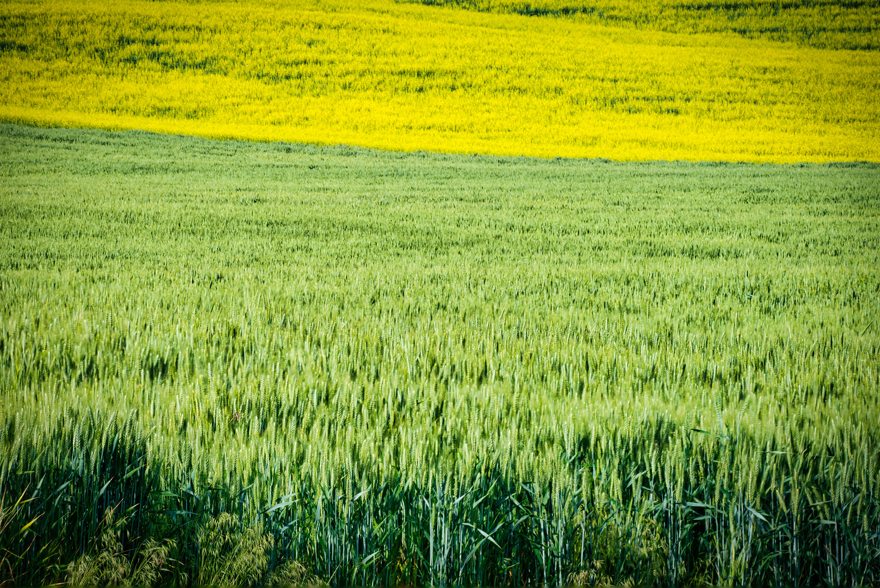 Wheat and Canola Fields