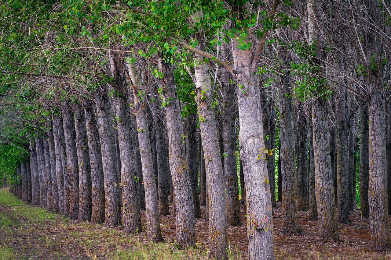 Tree Grove Near Garfield