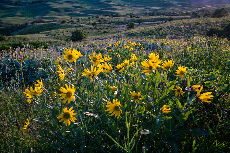 Spring Balsamroot in Palouse