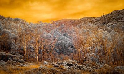 Eucalyptus Trees, Infrared False Color, Montana de Oro State Park, Morro Bay