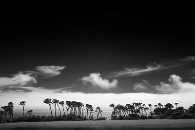 Monterey Cypress Trees