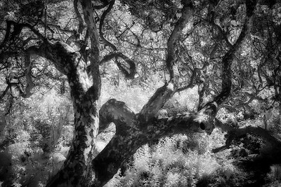 Pacific Madrone in Infrared