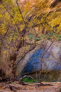 A birch in full fall color contrasts against red rock in Escalante National Monument, Utah, USA.