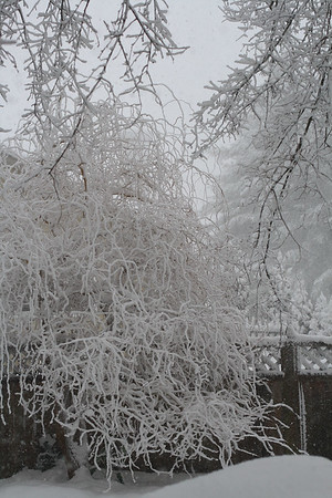 """IMG#5412 """"Mother's Corner"""" Corkscrew Willow planted in mother's honor braces against the storm. February 10, 2010"""