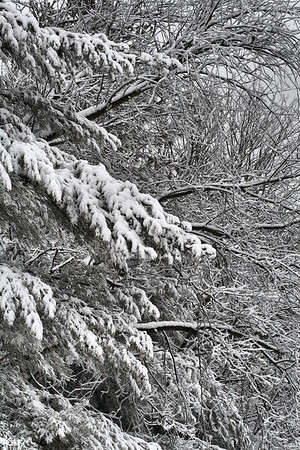 IMG#5461 Huge Spruce and Maple Trees, heavy with Snow, survive another Nor'easter. New Jersey February 10, 2010
