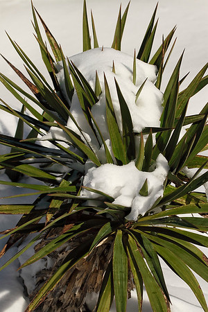 Yucca plant...long way from the tropics! Jan 23, 2016