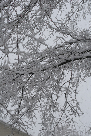 IMG#5408 Snow covered limbs February 10, 2010