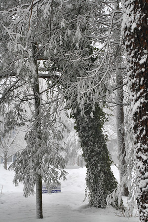 IMG#5402 Ivy-covered Pine Trees heavy with snow February 10, 2010