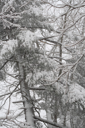 IMG#5410 Pine Trees heavy with wet snow. Febraury 10, 2010