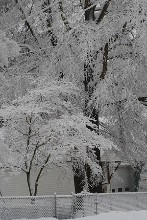 """IMG#5428 Snow creates a """"Lacie"""" appearance on these trees in a New Jersey yard. February 10, 2010"""