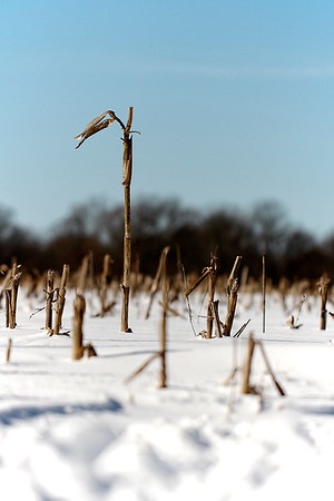One lonely cornstalk remains...Jan 23, 2016