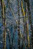 Yosemite Alders