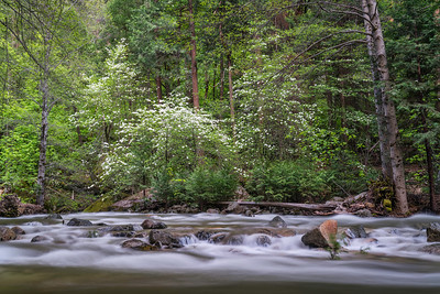 Tenaya Creek and Dogwoood