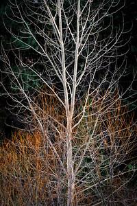 Cottonwood and Creek Dogwood