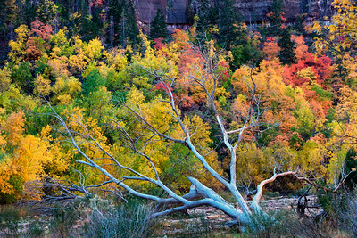 Vibrant fall color at Big Bend, Zion Canyon, Zion National Park, Utah, USA.