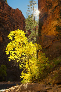A backlit cottonwood seemingly grows out of the Navajo Sandstone as the Virgin River flows past, The Narrows, Zion National Park, Utah, USA.