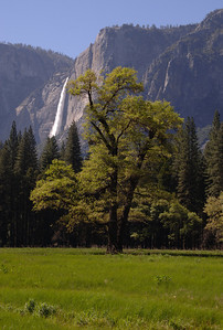 The tree of Yosemite Falls, Yosemite National Park