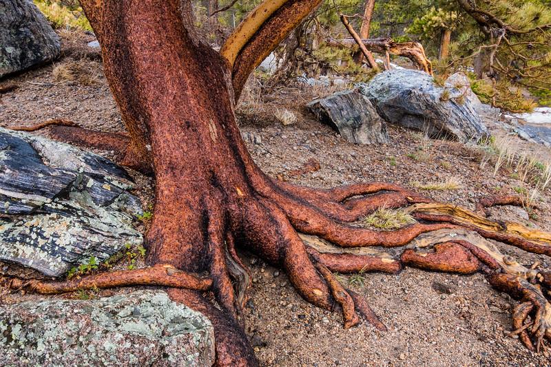 Wet Tree, Sprague Lake, Rocky Mountain NP, CO (CP-151-2014-05-10)