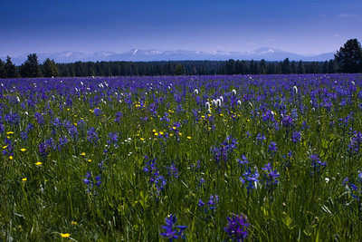 Absarokas in Bloom, Yellowstone NP
