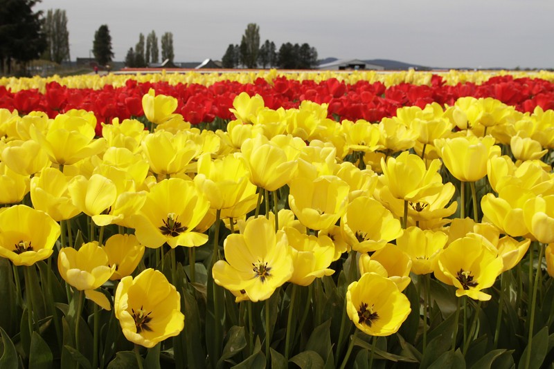 Tulip Fields, Skagit Valley, WA