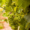 Grapes of Niagara Region