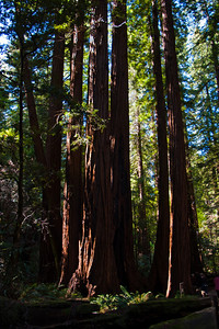 Redwood Forest, Muir Woods NM