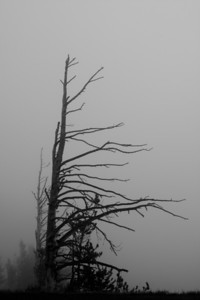 Snag in the fog, Yellowstone NP