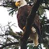 Bald Eagle #4222