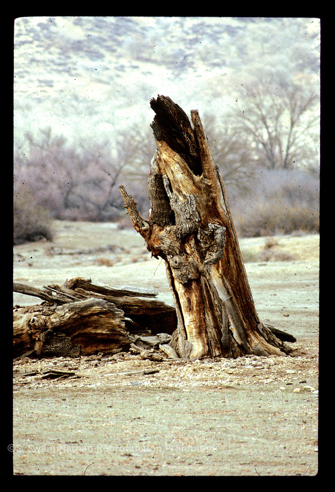 Old Man Tree, Highway 101, Central California