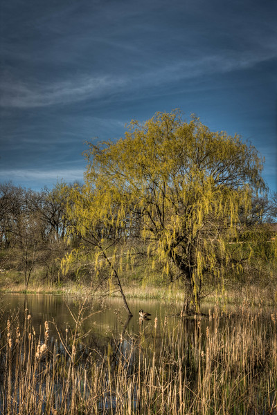 Tree and Geese - VA - Crystal Lake,IL