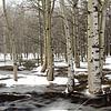 Frozen lake onto the birch trees.