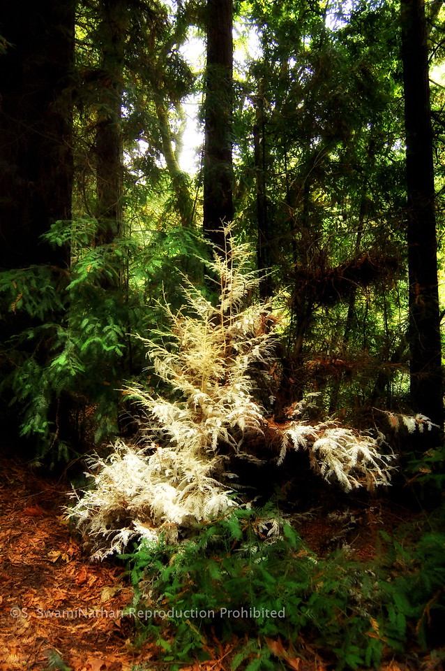 Albino Redwood, one of 60 in the world.