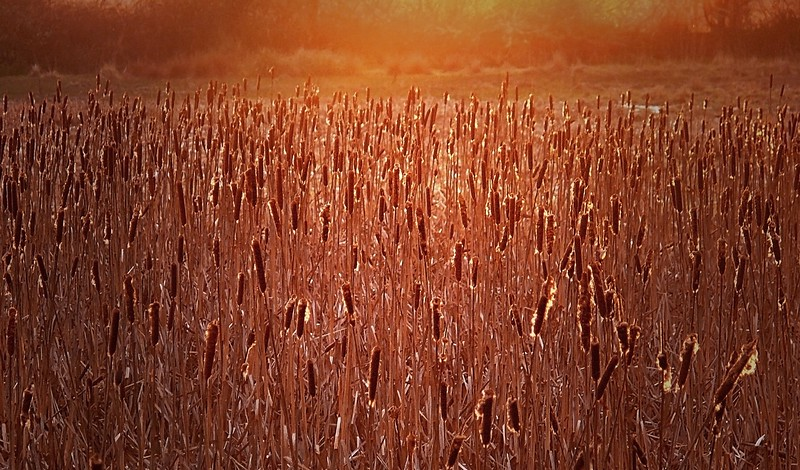 Cattails at Sunset