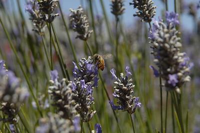 Bee near the sea.  Capitola, California